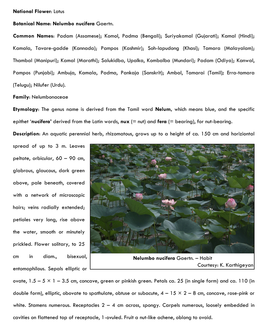Lotus Flower Essay Custom Paper Academic Service Oehomeworkhvxl